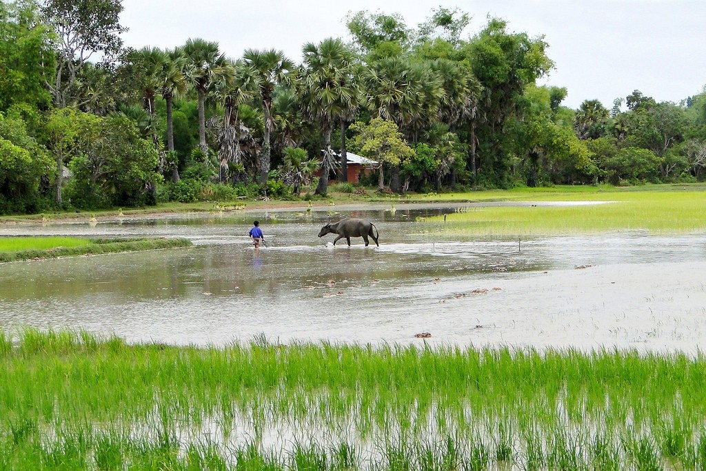 Rice field in Cambodia's countryside