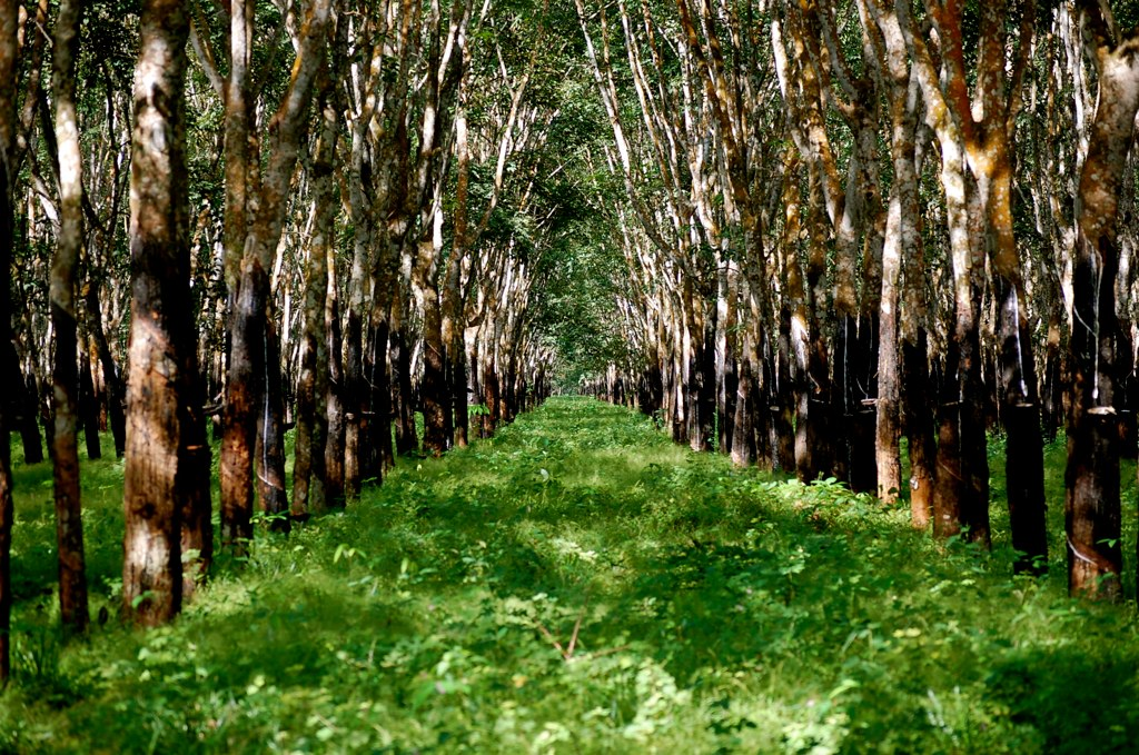 Rubber Plantation in Cambodia. Photo taken by Irayani Queencyputri. Licensed under (CC BY-NC 2.0).